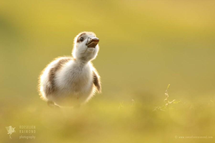 Cute baby gosling