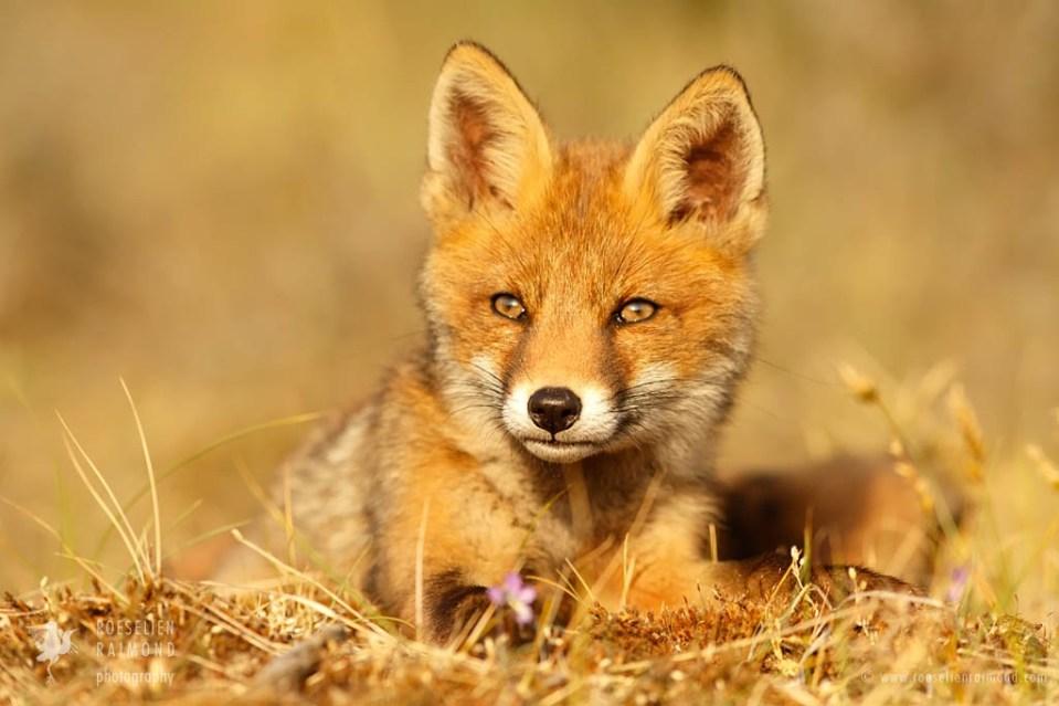 Cute red fox kit sunset
