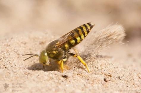 Digger Wasp (Bembix rostrata)