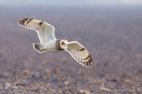 Flying short-eared owl (Asio flammeus)