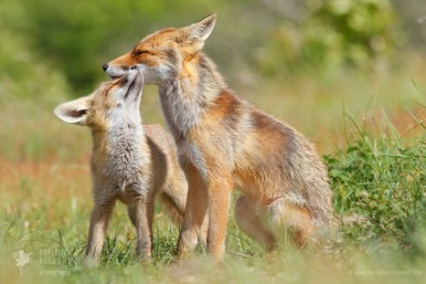 A Red fox mother with her fox kit