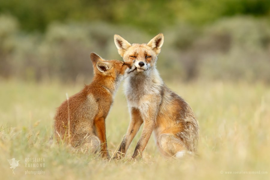 Red Fox Love and Affection