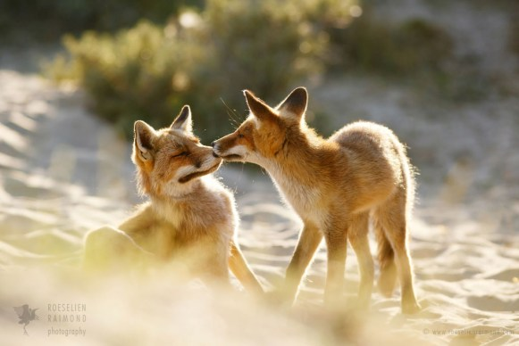 Mother fox and fox kit sharing a loving moment