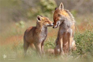 Mother fox and fox kit love