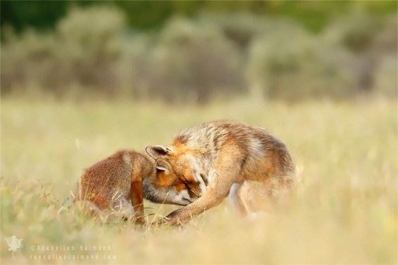 red fox love