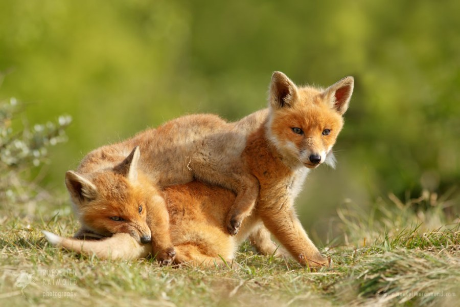 Red Fox Sibbling Love