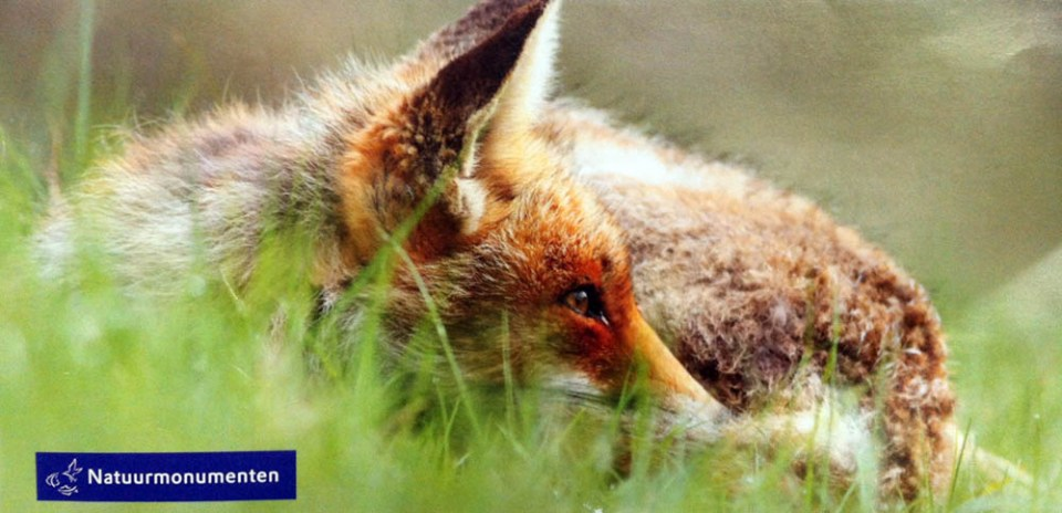 Natuurmonumenten relaxte vos