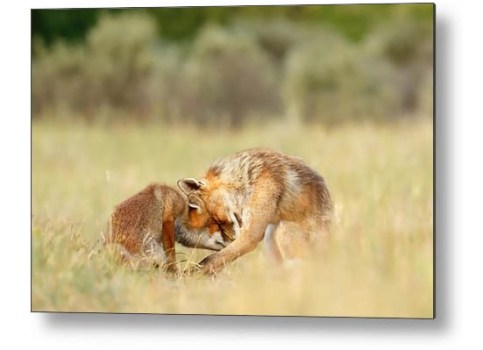 Red Fox Love Fine-art