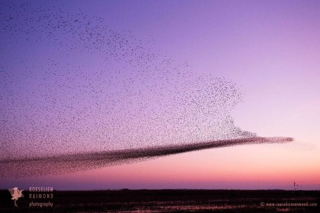 murmuration starling sturnus vulgaris sunset flock swarm