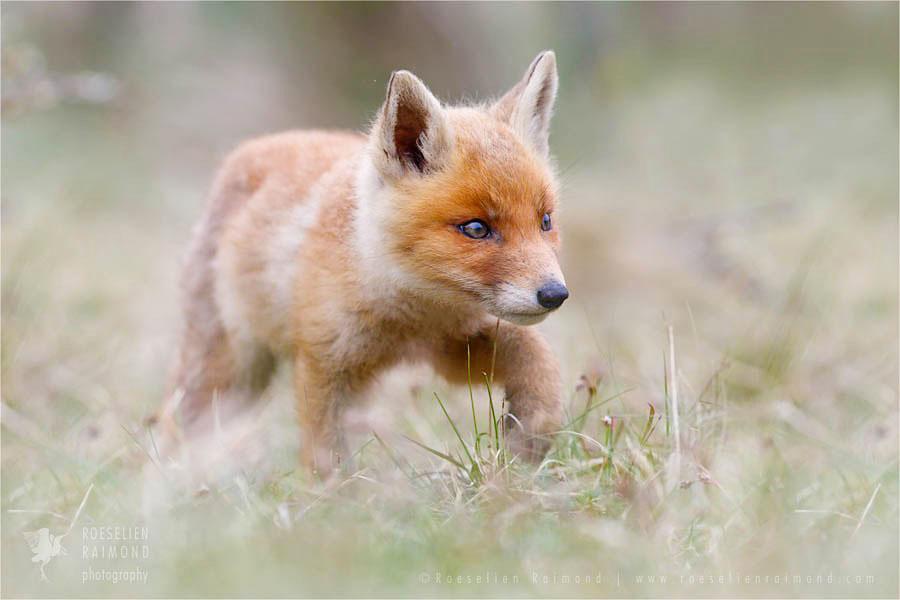 Walking red fox kit