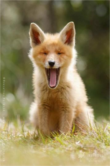 Yawning red fox kit