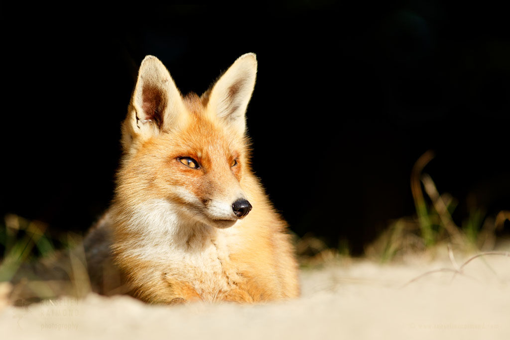Red fox in the sunlight
