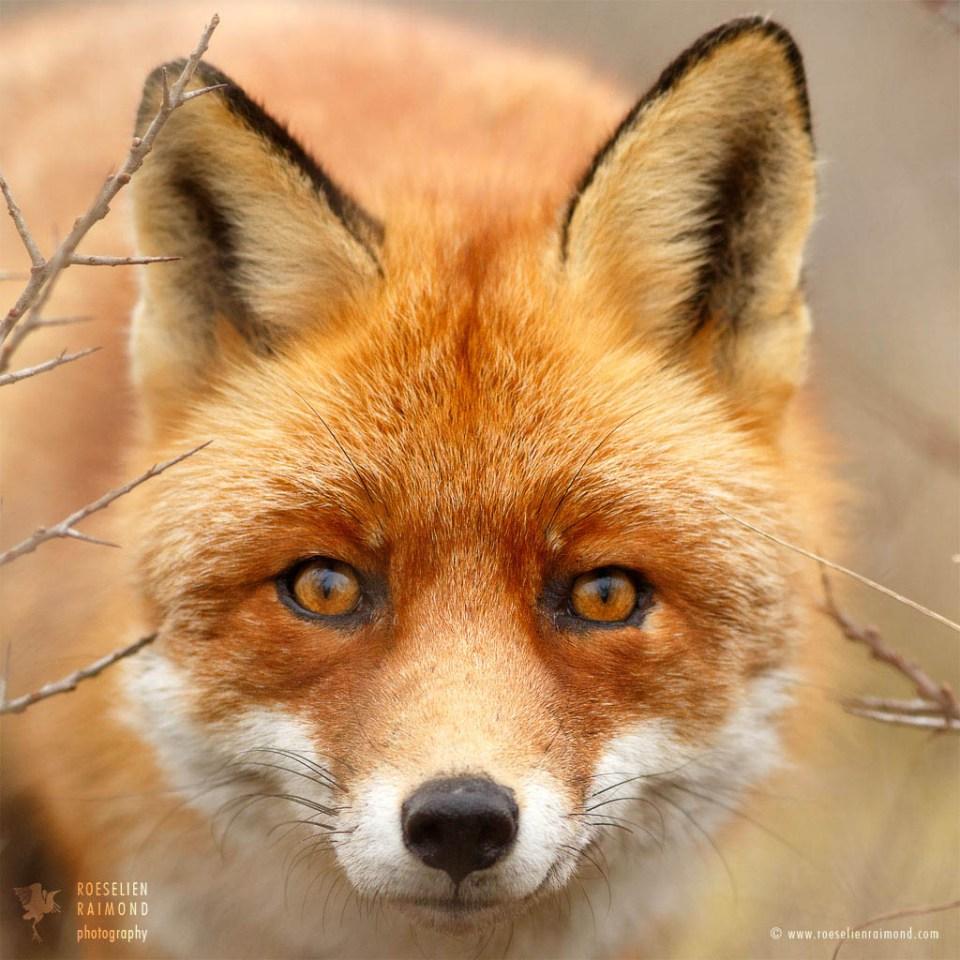 Beaten Fox