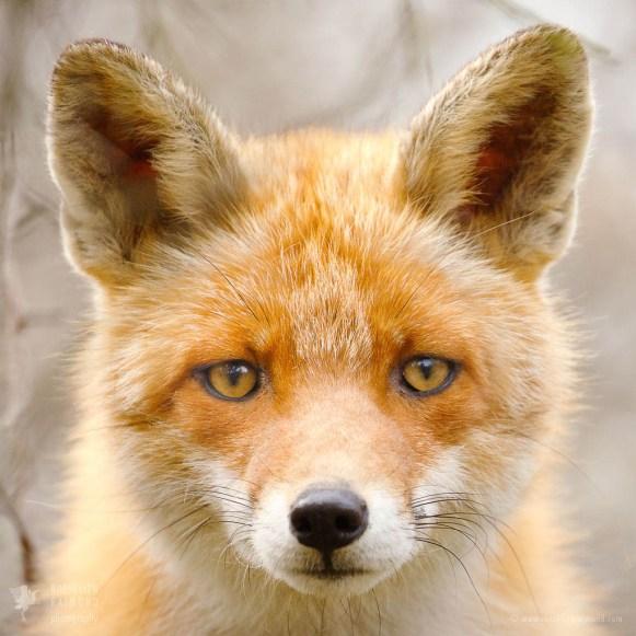 Don Fox