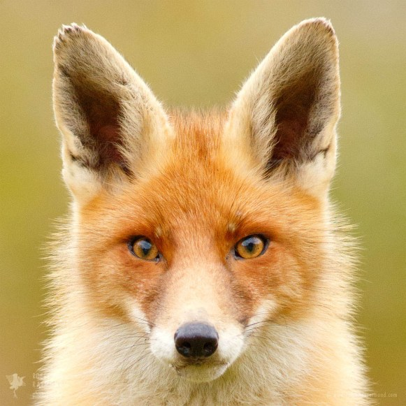 One-Of-A-Fox