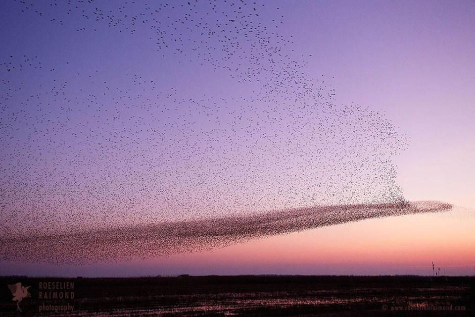 Starling murmuration swarming at sunset