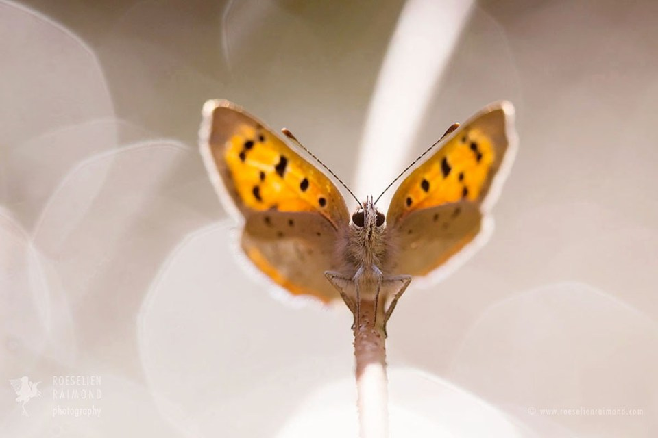 Small Copper and bokeh