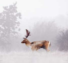 Fallow deer in the mist on a foggy sunrise