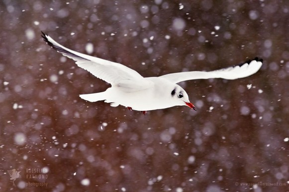 Gull in the Snow
