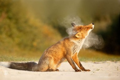 Smokin' Hot Fox