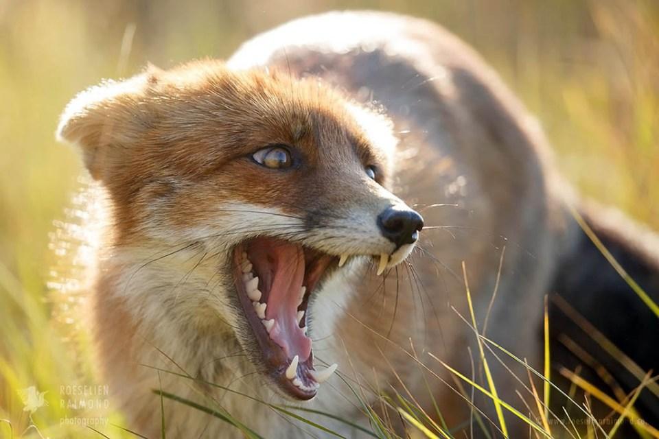 submissive fox