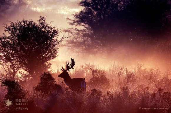 Fallow deer in the early misty morning