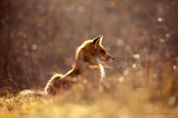 Red Foxat sunset