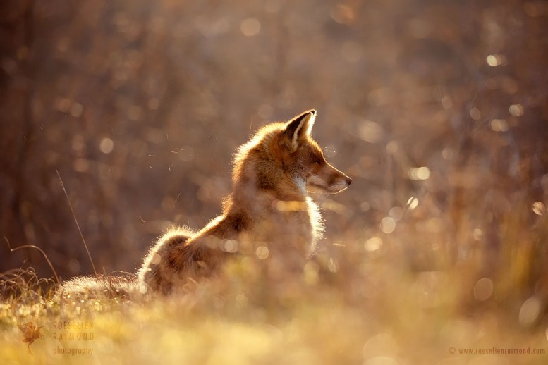 Red Foxat sunset