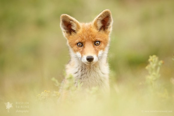 Cute little fox kit