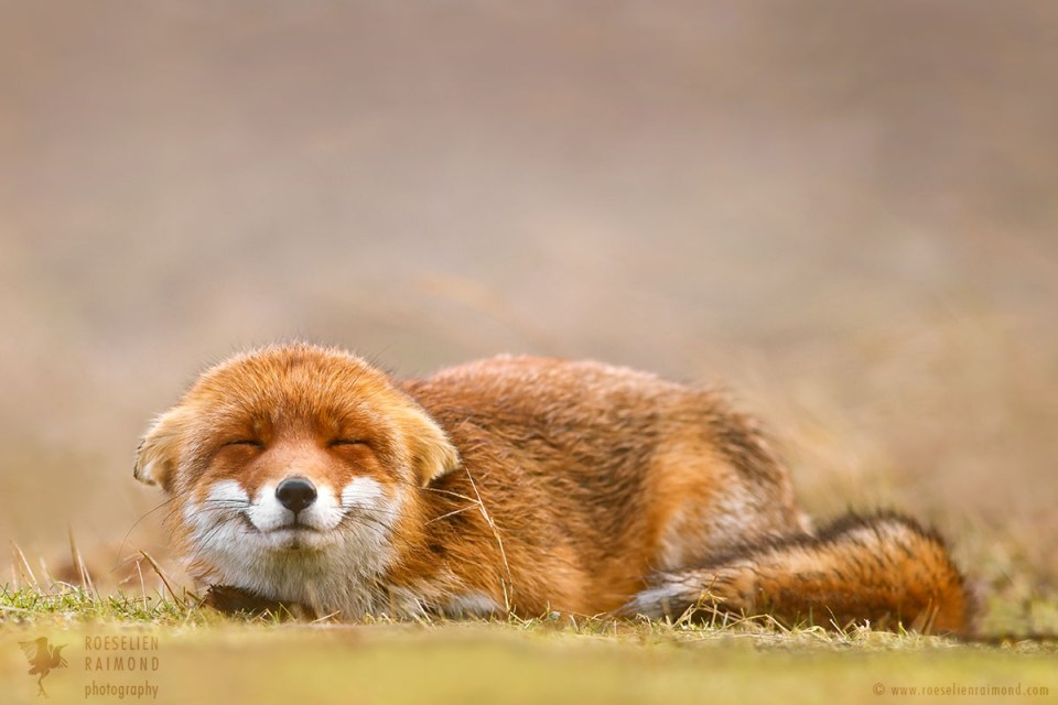Smiling Fox happy