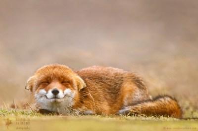 Smiling Fox happy