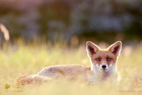 Cute red fox kit