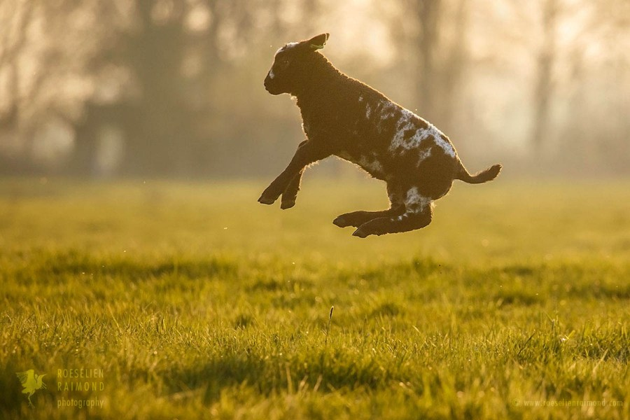 Jumping lamb in the meadow at sunset