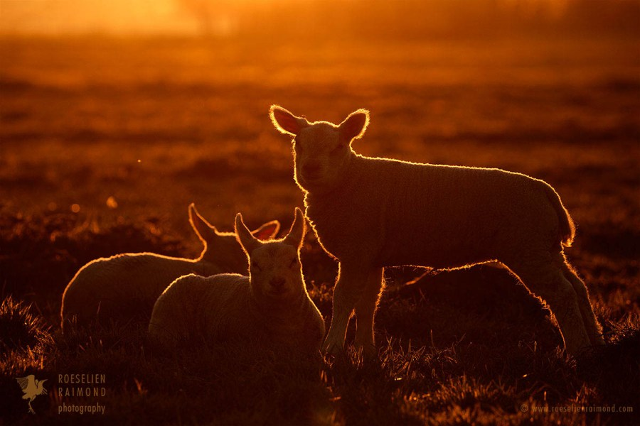 Enligthened lambs at sunset