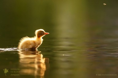Duckling chasing mosquitoes
