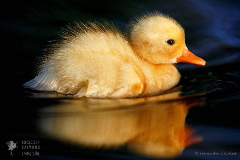 Beach Duckling
