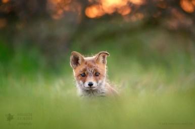cute fox baby