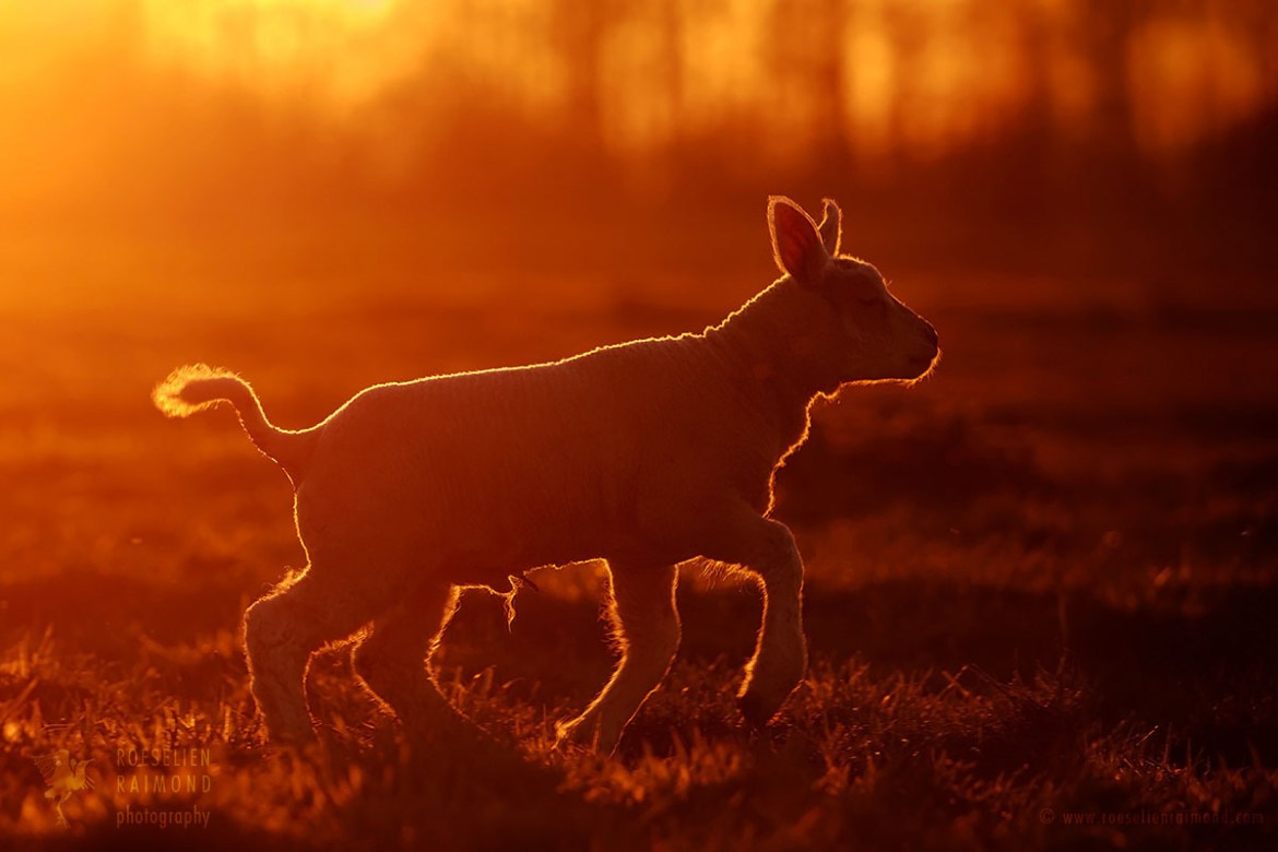 lamb sunset