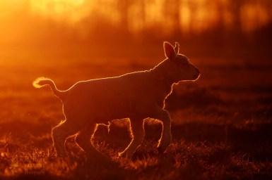 lamb sunset
