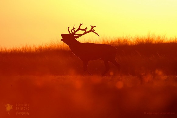 Red deer sunset