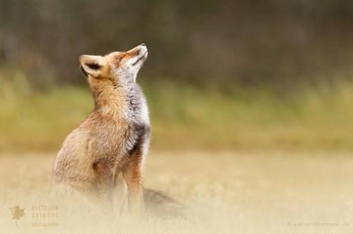 Zen Fox Series - Head up High