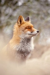 Zen Fox Series - Head up High