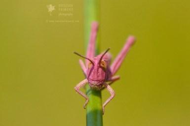 erythrism pink grasshopper