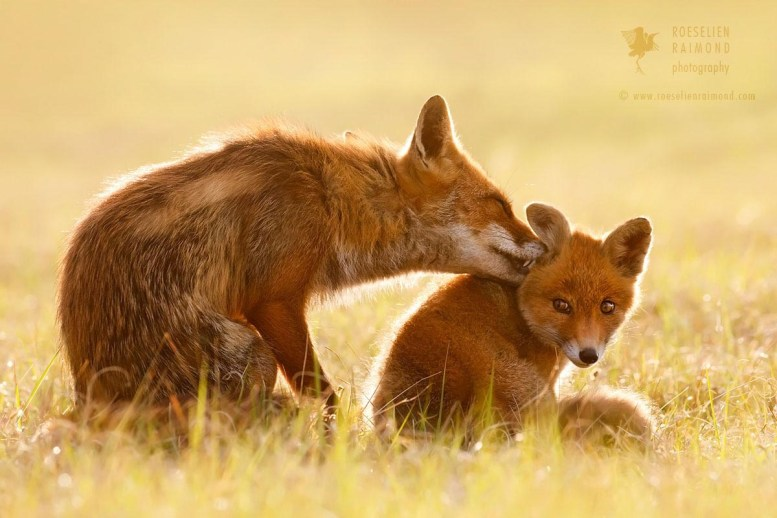 Mother kit fox affection