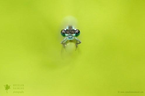 damselfly green