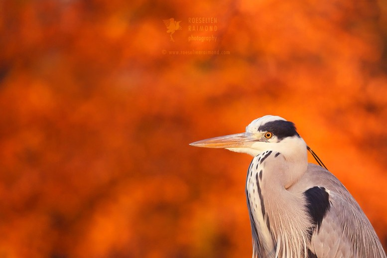 Heron and fall colours