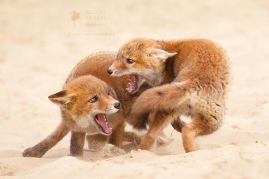 Playfighting Fox Cubs