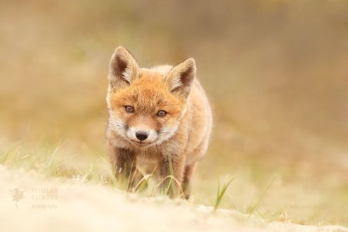 Exploring red fox kit...