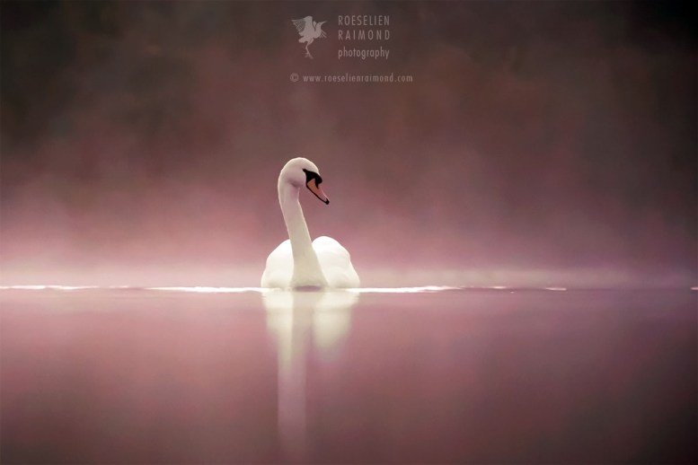 Swan in the Mist