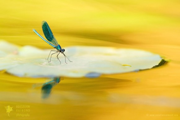 damselfly in the river